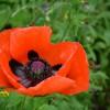 poppy-1755751_1920